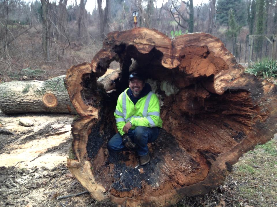 Multiple Large Diseased Trees Removed – Westminster, Maryland